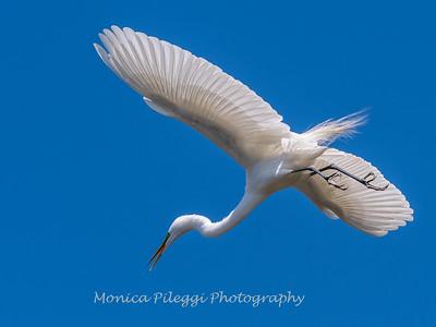 Great Egrets 8 Apr 2018-5386
