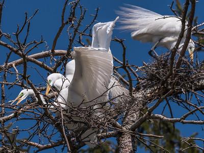 Great Egrets 8 Apr 2018-5513