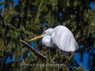 Great Egrets 8 Apr 2018-5309