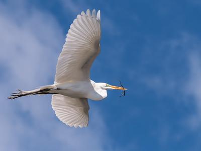 Great Egrets 8 Apr 2018-5151