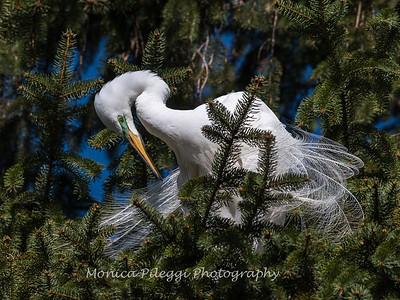 Great Egrets 8 Apr 2018-5162