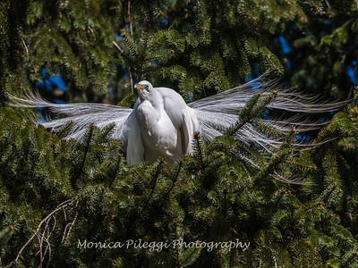 Great Egrets 8 Apr 2018-5188