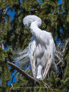 Great Egrets 8 Apr 2018-5353