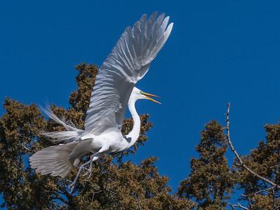 Great Egrets 8 Apr 2018-5248