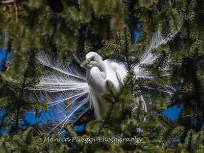 Great Egrets 8 Apr 2018-5326