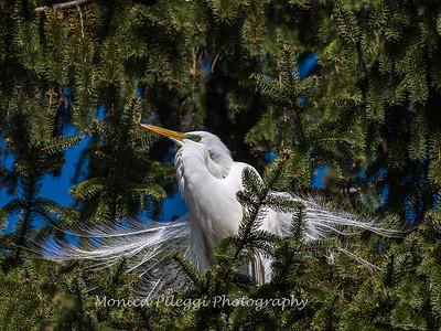 Great Egrets 8 Apr 2018-5125