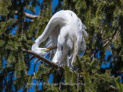 Great Egrets 8 Apr 2018-5362