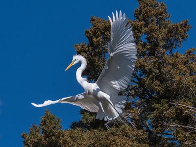 Great Egrets 8 Apr 2018-5243