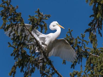 Great Egrets 8 Apr 2018-5372