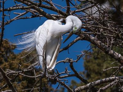 Great Egrets 8 Apr 2018-5557