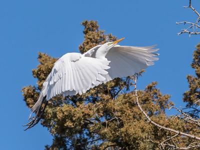 Great Egrets 8 Apr 2018-5111