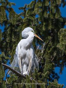 Great Egrets 8 Apr 2018-5344