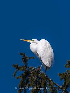 Great Egrets 8 Apr 2018-5131
