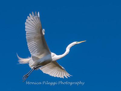 Great Egrets 8 Apr 2018-5367