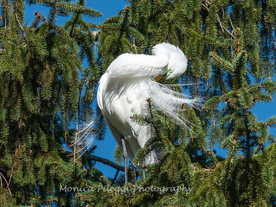Great Egret 21 April 2019-3828