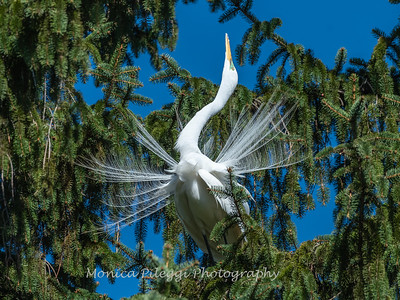 Great Egret 21 April 2019-3853