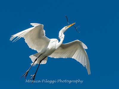 Great Egret 21 April 2019-3961
