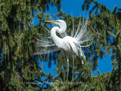 Great Egret 21 April 2019-3859