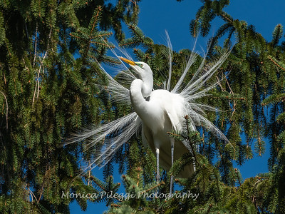 Great Egret 21 April 2019-3846
