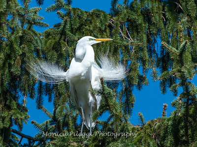 Great Egret 21 April 2019-3874