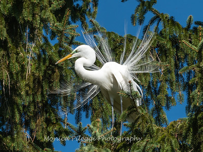 Great Egret 21 April 2019-3848