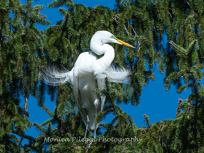 Great Egret 21 April 2019-3870