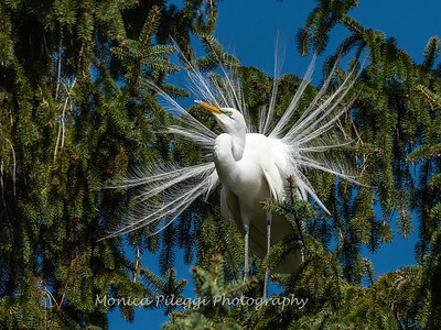 Great Egret 21 April 2019-3844