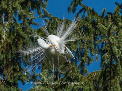 Great Egret 21 April 2019-3851