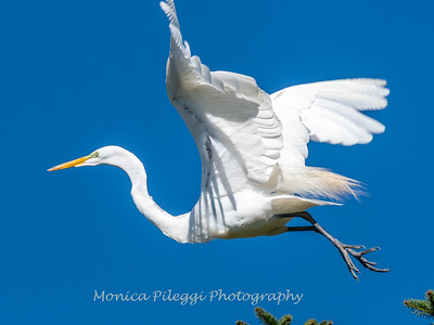Great Egret 21 April 2019-3979