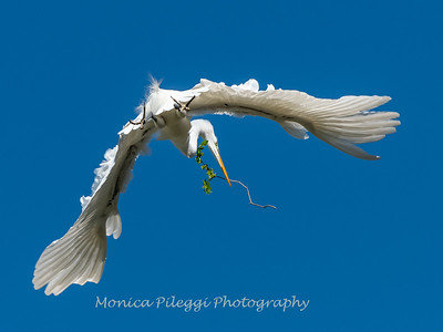 Great Egret 21 April 2019-3837