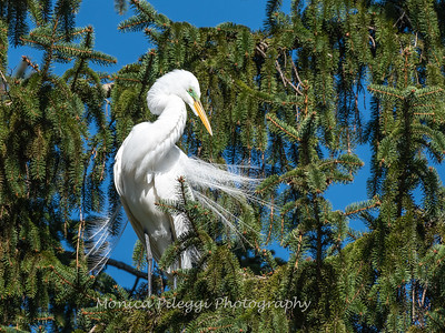 Great Egret 21 April 2019-3827