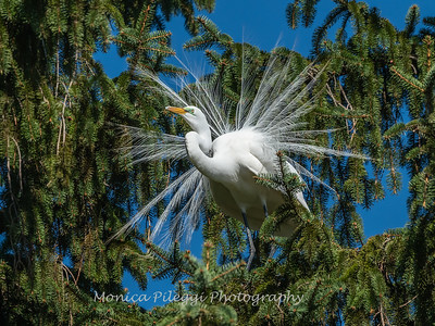 Great Egret 21 April 2019-3855