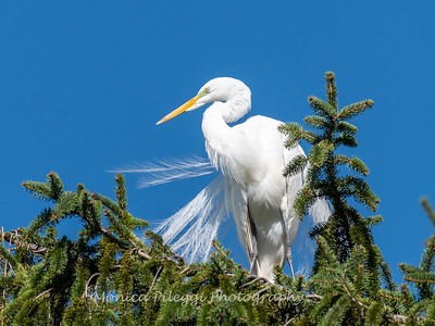 Great Egret 21 April 2019-3965