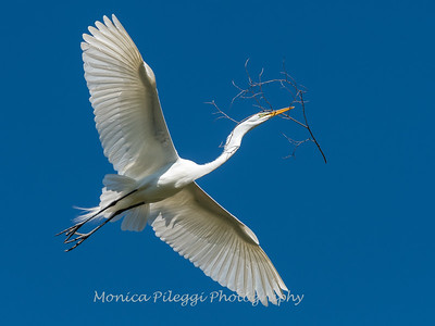 Great Egret 21 April 2019-4024