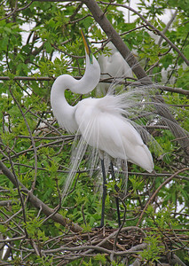 Great Egret 6