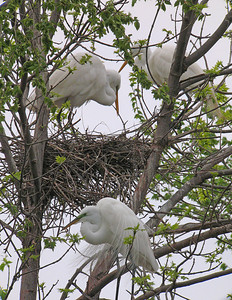 Great Egret 7