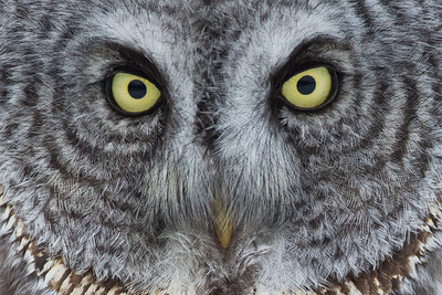 Great Grey Owl, Manitoba