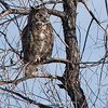 Great Horned Owl 103 | Aurora CO