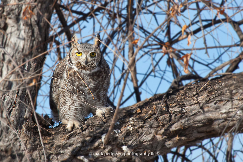 Great Horned Owl 112 | Aurora CO