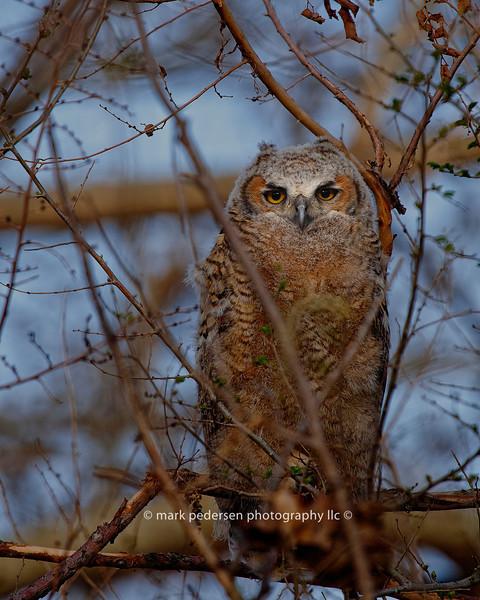Great Horned Owlet 132 | Parker CO