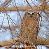 Great Horned Owlet 128 | Parker CO