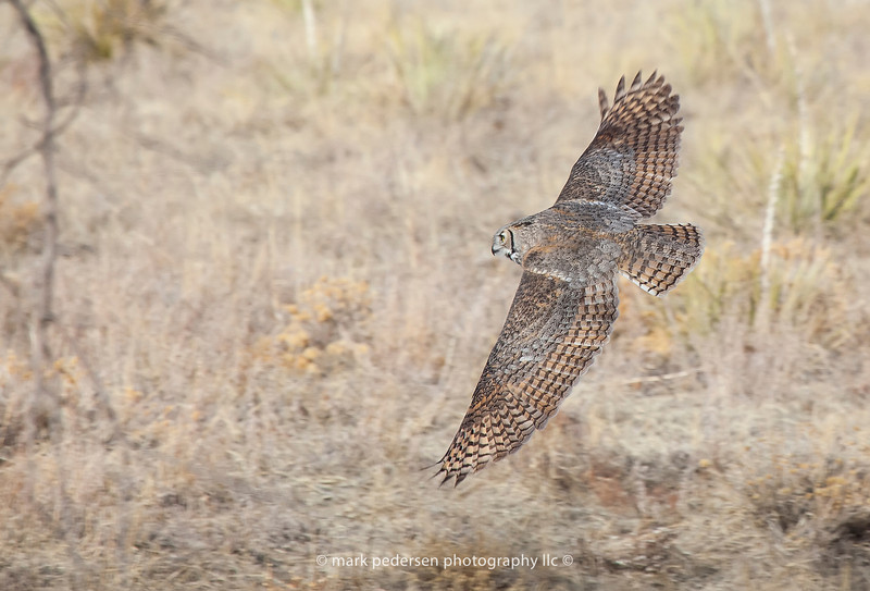Great Horned Owl 114 | Aurora CO