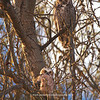 Great Horned Owl and Owlet 134 | Parker CO