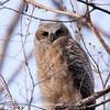 Great Horned Owlet 137 | Parker CO