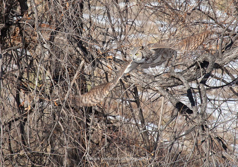 Great Horned Owl 111 | Aurora CO