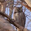 Great Horned Owl 101 | Parker CO