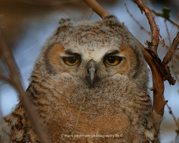 Great Horned Owlet 122| 11x14 or smaller prints on this image | 2013 Parker CO
