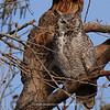 Great Horned Owl 140 | Parker CO