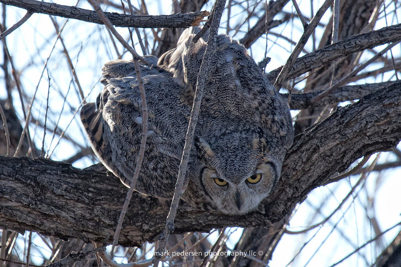 Great Horned Owl 109 | Aurora CO