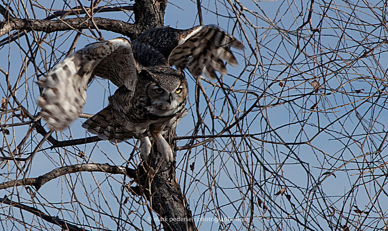 Great Horned Owl 106 | Aurora CO
